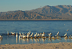 white pelicans at the Salton Sea