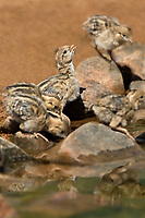 574470036 wild gambel's quail chicks callipepla gambelli drink from a pond in green valley arizona united states