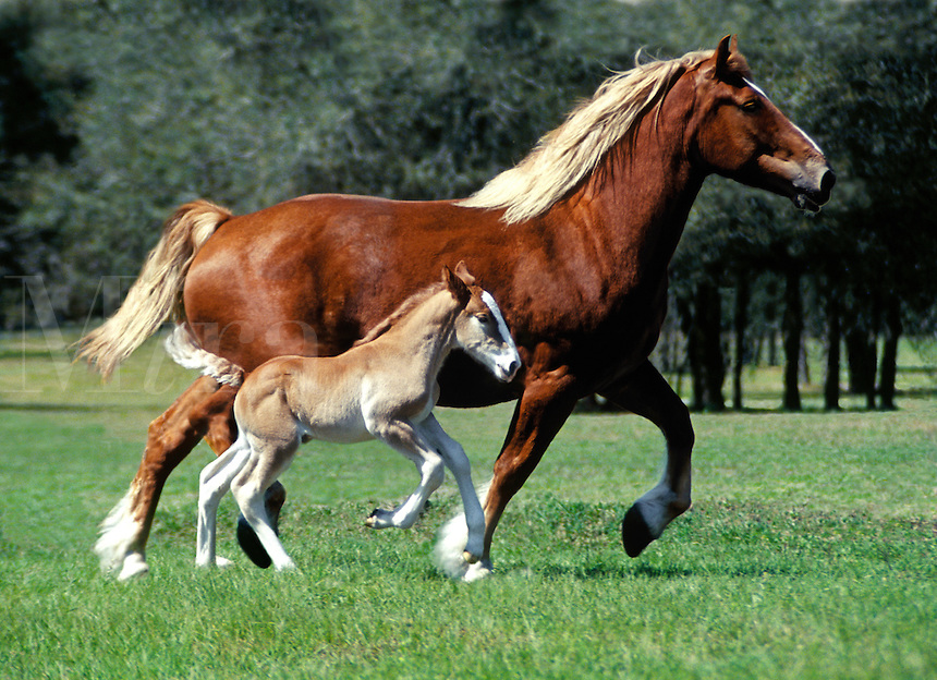 Belgian Draft Horse mare with foal at side trot across open paddock.