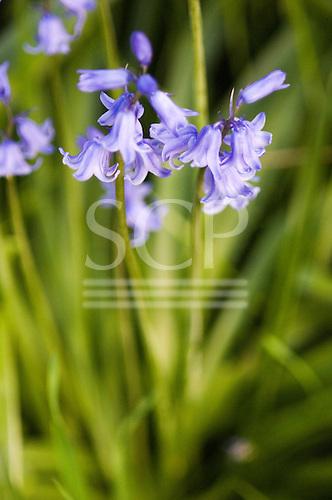 Kingston upon Thames, Surrey. Bluebells - Scilla non-scripta.