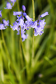 Kingston upon Thames, Surrey. Bluebells - Scilla non-scripta.
