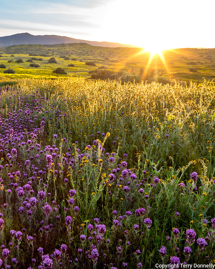 Carrizo Plain National Monument, California:<br /> Setting sun over the coastal range with foreground of spring blooms with owls clover, monolopia and fiddleneck