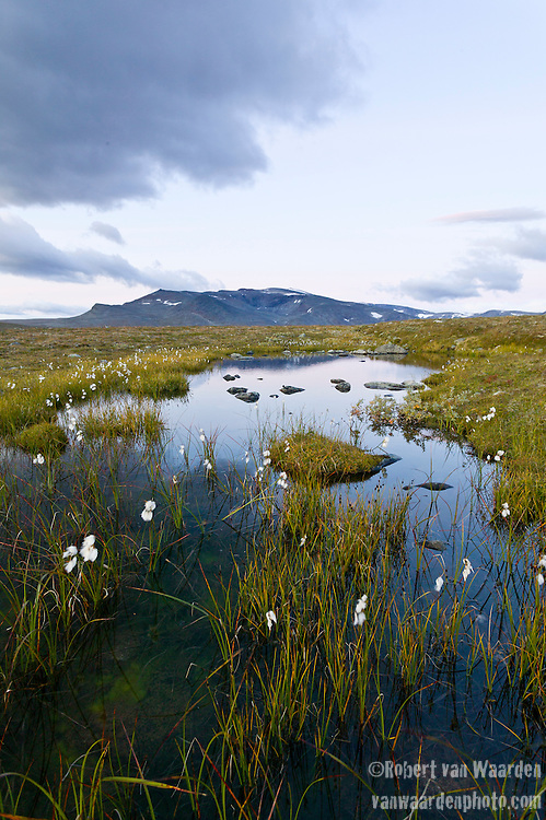 Early morning light illuminates a mountain meadow and white flowers in the Jotunheimen National Park, Norway.