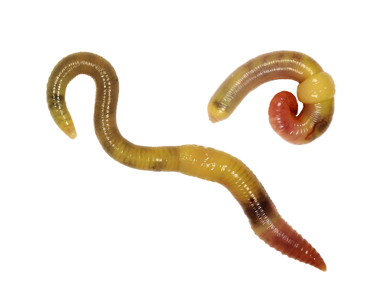 Green Worm - Allolobothora chlorotica