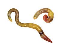 Green Worm - Allolobothora chlorotica