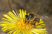 Honigbiene, Honig-Biene, Europäische Honigbiene, Westliche Honigbiene, Pollenhöschen, Pollen, Biene, Bienen, Apis mellifera, Apis mellifica, Blütenbesuch auf Huflattich, Nektarsuche, Blütenbestäubung, honey bee, hive bee, western honey bee, European honey bee, bee, bees, L'abeille européenne, l'avette, la mouche à miel