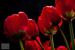 Close up of Red Tulips backlit by late afternoon sunlight with darkened background.