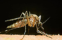 MQ01-001x  Mosquito - adult female biting a human - Aedes stimulans or Ochlerotatus stimulans.