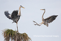 00684-05308 Great Blue Herons (Ardea herodias) fighting. Viera Wetlands Brevard County FL