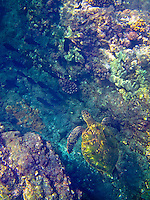 A snorkler's overhead view of a green sea turtle (or honu) swimming between the reefs around One Palm, Big Island.