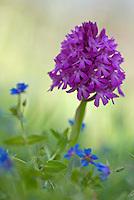 Anacamptis pyramidalis; Apulia; Gargano National Park; Gargano Peninsula; Italy; Pyramidal Orchid; Vieste