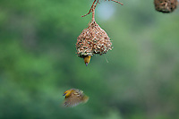 Village Weaver (Ploceus Cucullatus)..Leaving it's nest. Illustration to show flight path...Hluhluwe Imfolozi Game Reserve..Kwazulu-Natal, South Africa..November 2010.