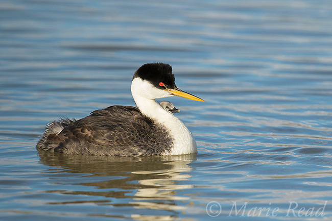 Western Grebe (Aechmophorus occidentalis) adult with chicks riding on its back, peeking out from adult's plumage, Bear River Migratory Bird Refuge, Utah, USA