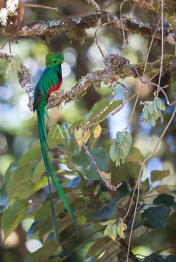 A male quetzal is a highlight of any trip to the highlands.