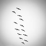 Thirteen geese in flight