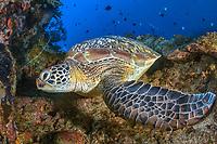 Green sea turtle, Chelonia mydas, Manado, Bunanken National Park, Sulawesi, Celebes Sea, Indo-Pacific, Indonesia