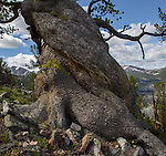 Twisted trunk of a bristlecone pine tree on Warren Peak in the Anaconda Pintler Wilderness in Montana bristlecone pine tree high in the anaconda pintler wilderness area in montana