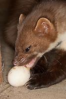 Steinmarder, Stein-Marder, Marder mit Hühnerei, Ei, Eierdieb, hat Ei in typischer Weise mit den Zähnen geöffnet und leckt es nun aus, Martes foina, beech marten, stone marten