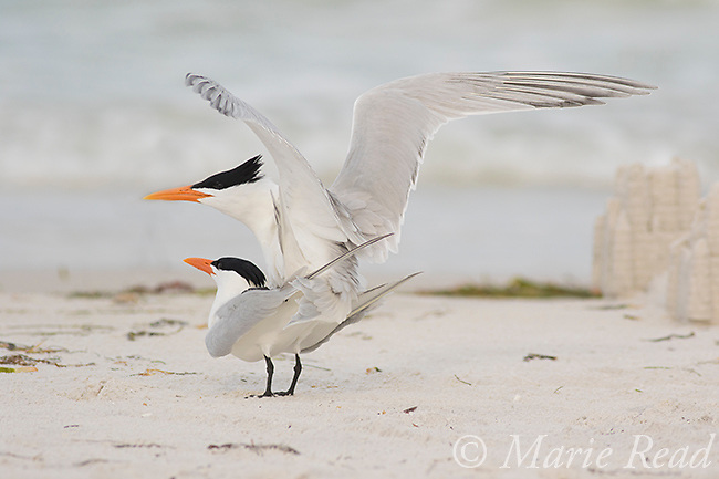 Royal Terns (Sterna maxima), pair copulating, Fort De Soto Park, Florida, USA