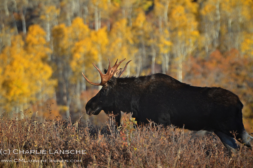 This bull moose has only one thing on his mind during the late September rut.