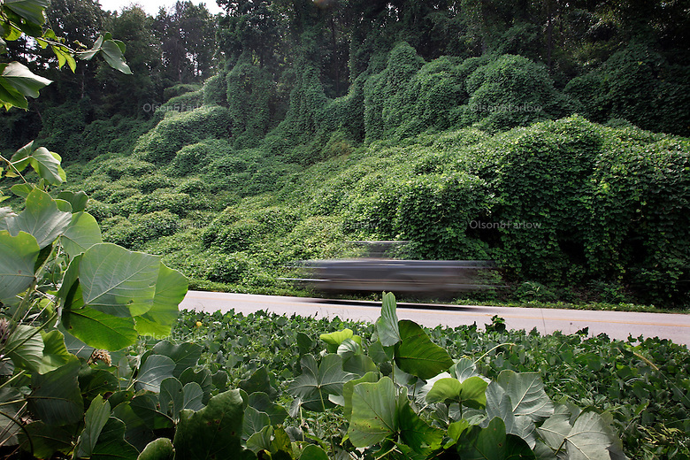 A Georgia highway cuts through rolling waves of kudzu (Pueraria montana), a tenacious plant <br /> that grows 60 feet annually. <br /> It infests 7 million acres throughout the southeastern United States. Kudzu forms a dense thicket of little use to wildlife and crowds out other plants, <br /> disrupting the ecosystem.