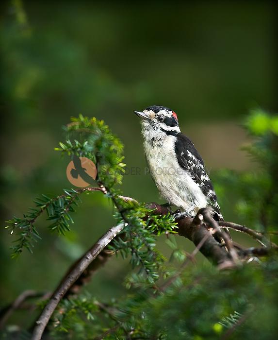 Male Downy Woodpecker perched in Hemlock Tree