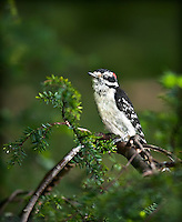 Male Downy Woodpecker perched in Hemlock Tree
