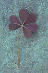 Close up of hairy clover-like purple leaf of Trifolium repens Purpurascens lying on copper covered with verdigris