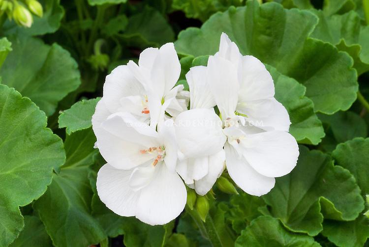 Pelargonium 'Trend White' zonal geranium, annual flowers, macro closeup of blooms