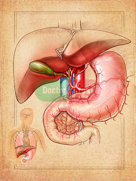This medical illustration displays the organs of the abdominal region including the liver, gallbladder, and stomach. The blood supply to the stomach is also clearly depicted in this image