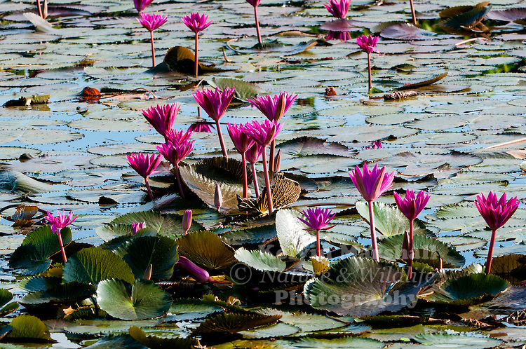 A beautiful display of pink water lilies (Nymphaea nouchali) growing among Sacred Temples. Sukhothai Historical Park - Thailand.