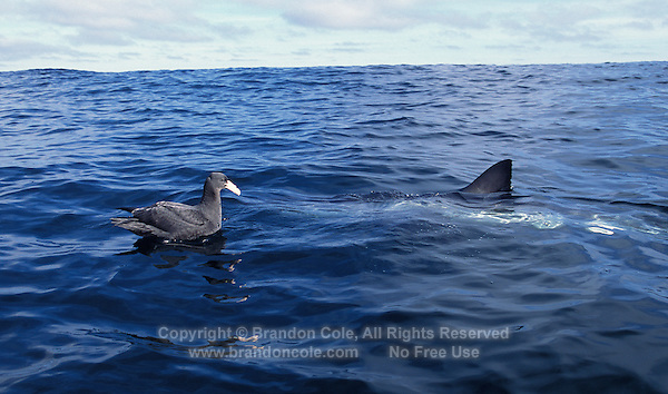 nj31. Great White Shark (Carcharodon carcharias) investigating Giant Petrel bird as possible meal. South Africa, Atlantic Ocean..Photo Copyright © Brandon Cole. All rights reserved worldwide.  www.brandoncole.com..This photo is NOT free. It is NOT in the public domain. This photo is a Copyrighted Work, registered with the US Copyright Office. .Rights to reproduction of photograph granted only upon payment in full of agreed upon licensing fee. Any use of this photo prior to such payment is an infringement of copyright and punishable by fines up to  $150,000 USD...Brandon Cole.MARINE PHOTOGRAPHY.http://www.brandoncole.com.email: brandoncole@msn.com.4917 N. Boeing Rd..Spokane Valley, WA  99206  USA.tel: 509-535-3489