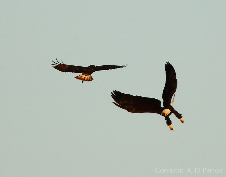 Bald eagle attacking Harlan's red-tailed hawk