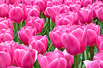 Madison Square Park, New York City, New York; flower beds filled with pink tulips in the spring