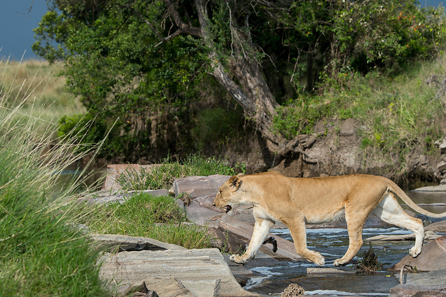 A lioness (Panthera leo) is crossing a small creek (trying not to get wet) in the Masai Mara National Reserve in Kenya.