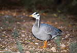 Bar-headed Goose (Anser indicus) Clovis Zoo, Clovis, New Mexico, USA