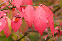 Euonymus alatas in autumn colour and berry