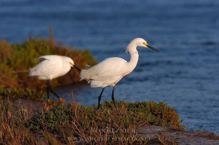Snowy Egrets at Sunset Bolsa Chica Wildlife Refuge Southern California