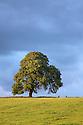 Ash Tree {Fraxinus excelsior} growing in a field. Peak DIstrict National Park, Derbyshire, UK. September.