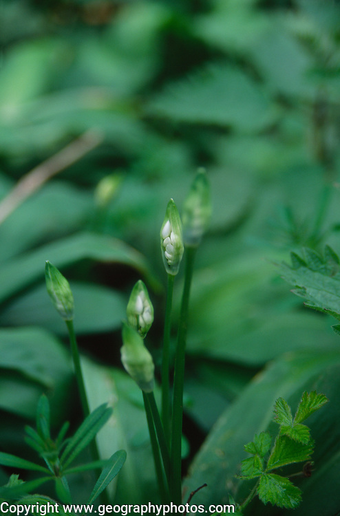 ADD2XB Ransom plants - wild garlic- showing leaves and first signs of blossom