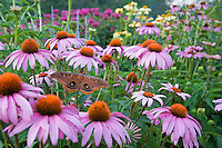 Polyphemus Moth in a backyard garden