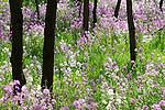 Phlox in Spring meadow.