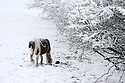 A pony looks for food on snow covered fields high on the hill roads around Belfast, Northern Ireland, Thursday Jan 29th, 2015. A 130 schools where forced to close due to the weather along with bus services. Photo/Paul McErlane