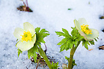 Globe Flowers blooming after a late spring snowfall in Montana