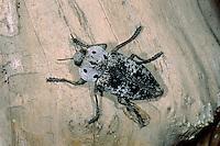 Pfirsichprachtkäfer, Pfirsich-Prachtkäfer, Capnodis tenebrionis, Peach Rootborer, Metallic Wood Boring Beetle