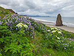 Cape Blanco State Park, Oregon<br /> Hillside of lupine and cow parsnip with single seastack on the beach under stormy skies