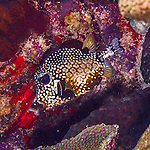 25 January 2016:  A Smooth Trunkfish (Lactophrys triqueter) swims on the reef at Captain Don's Habitat in Bonaire. Bonaire is known for its pioneering role in the preservation of the marine environment. A part of the Netherland Caribbean Islands, Bonaire is located off the coast of Venezuela and offers excellent scuba diving, snorkeling and windsurfing.  Mandatory Credit: Ed Wolfstein Photo *** RAW (NEF) Image File Available ***