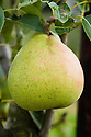 Pear 'Orcas', early September. An American pear, discovered as a sedling by Joe Long, a farmer on Orcas Island, Washington State, and sent to the Mount Vernon station in 1972 for testing. The trees are resistant to pear scab and productive, fruit is large and uniform size, good for canning or drying as well as fresh eating. Introduced in 1986.