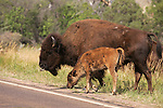 Theodore Roosevelt National Park - Badlands, South Unit - Bison with calf