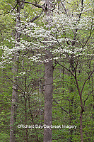 63808-03101 Dogwood Tree (Cornus florida) in bloom Marion Co. IL